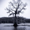 Bald Cypress in Caddo